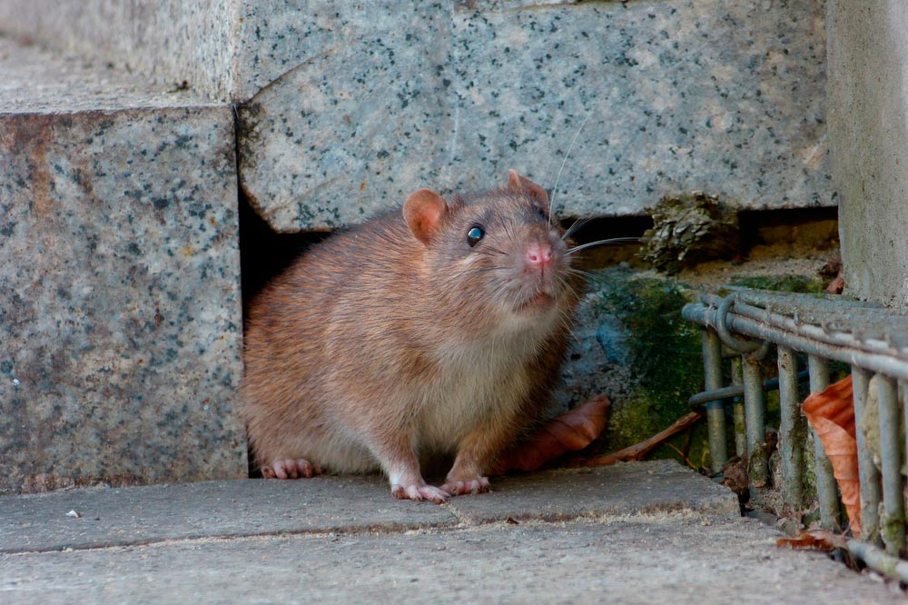 rata común