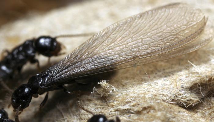 ¿Termitas u hormigas aladas?