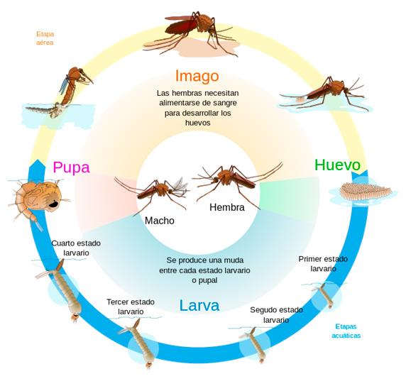ciclo biológico del mosquito
