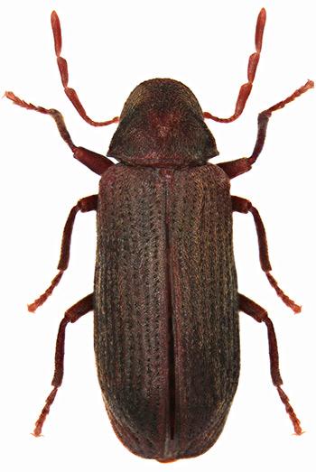 Escarabajo carcoma (Anobium punctatum)