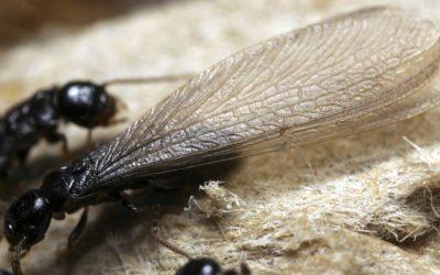 Térmites ou formigas aladas?