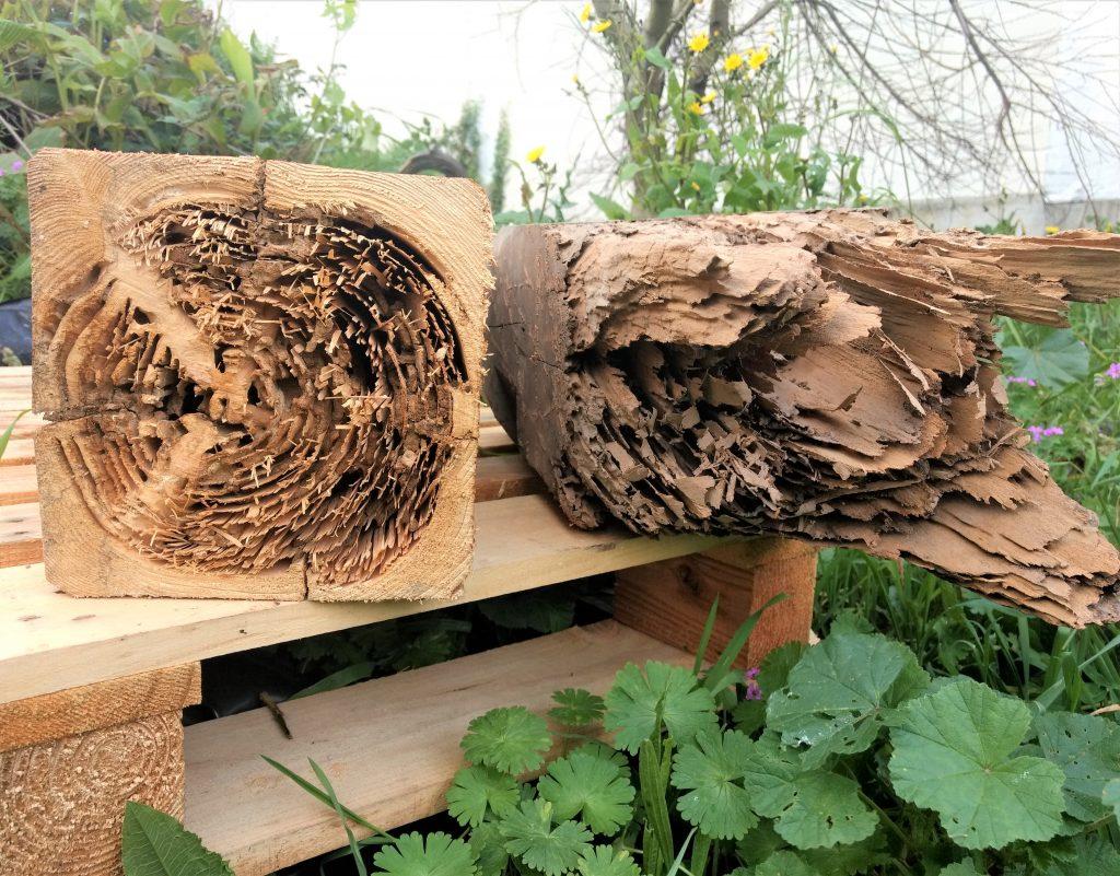 Termitas comiendo la madera
