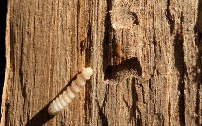 Scleroderma Doméstica, un método para eliminar a couza da madeira?