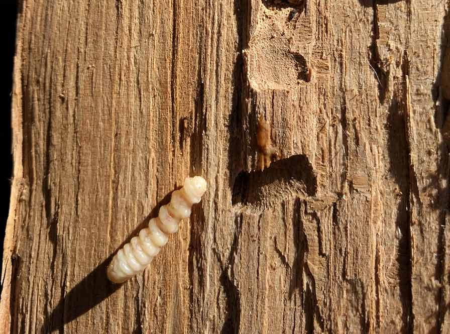 ¿Escleroderma Doméstica, un método para eliminar la carcoma de la madera?