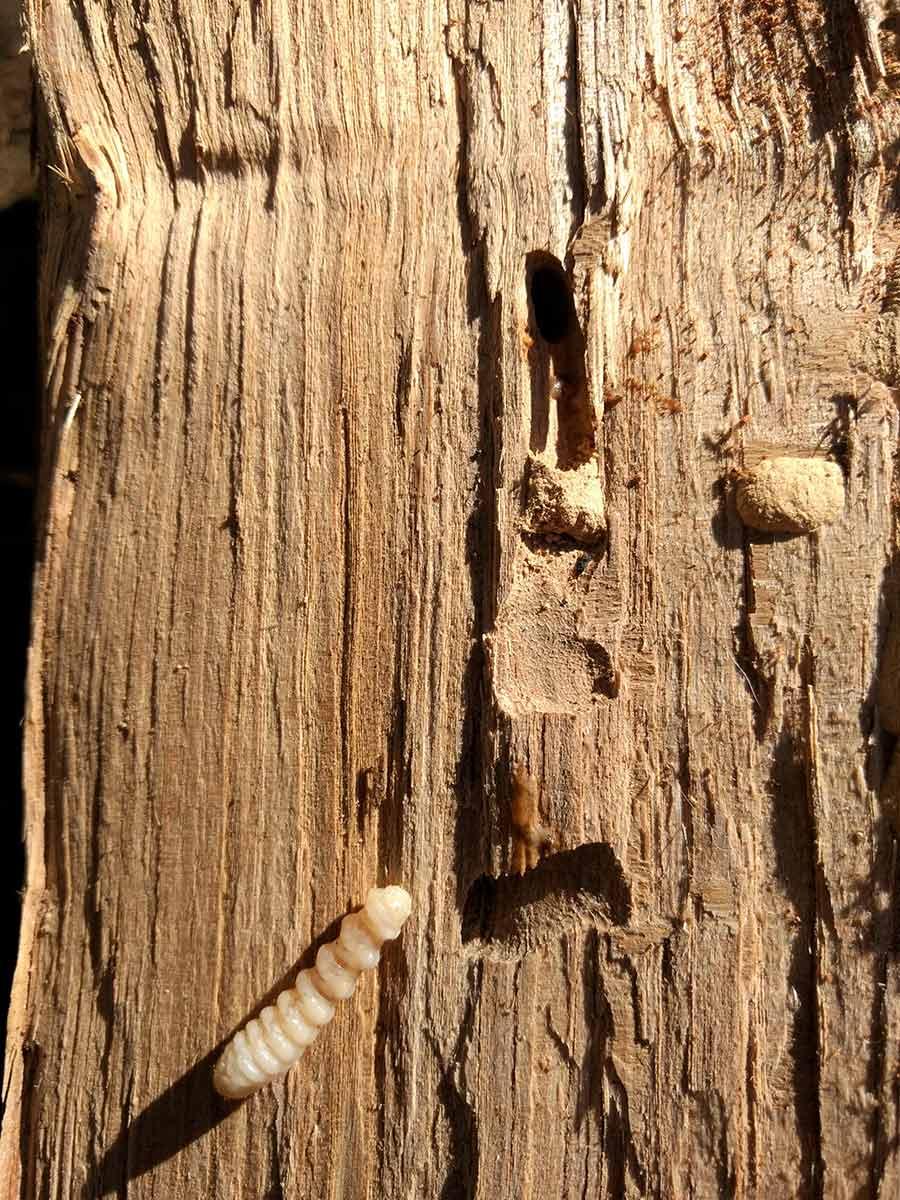 larva de xilófago