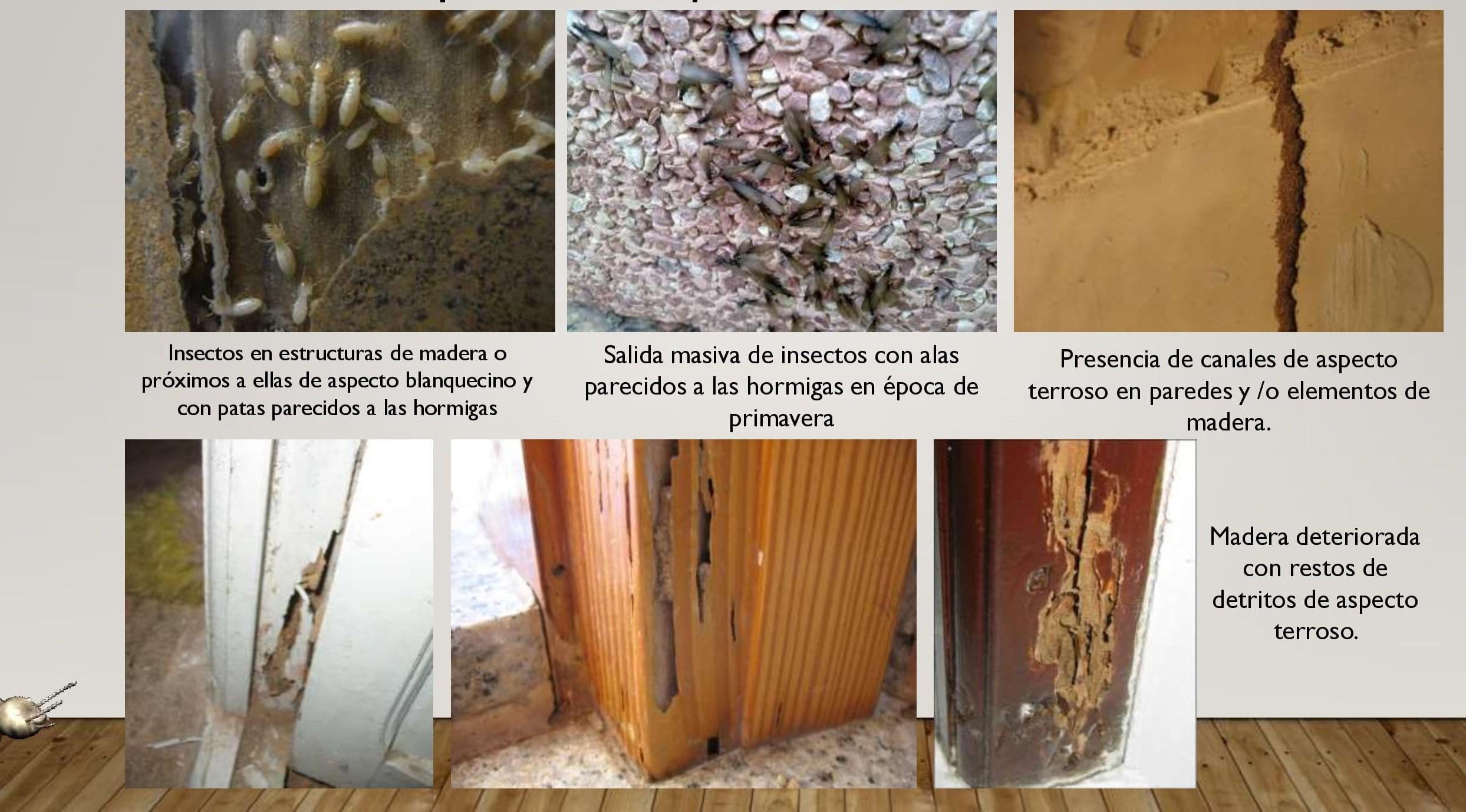 síntomas termites